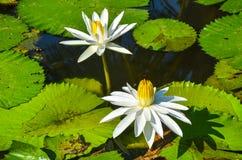 Beau lotus blanc dans l'étang photos libres de droits