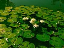 Beau lotus dans le regroupement photo stock