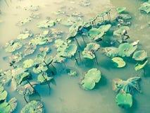 Beau lotus dans le regroupement photos libres de droits