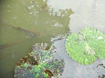 Beau lotus dans le regroupement photographie stock