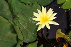 Beau lotus jaune Photos libres de droits