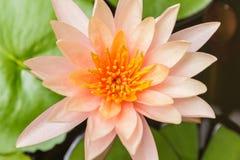 Beau lotus orange Images stock