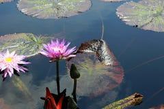 Beau lotus rose Images libres de droits