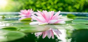 Beau Lotus rose, plante aquatique avec la réflexion dans un étang Photo stock