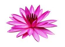 Beau lotus sur le fond blanc Photographie stock libre de droits