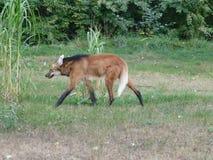 Beau loup europ?en [lupus de Canis] photographie stock