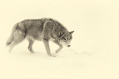 Beau loup gris sauvage Effet de vintage Photos stock