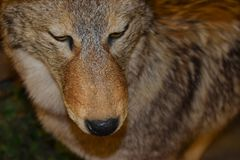 Beau loup solitaire dans le sauvage images stock