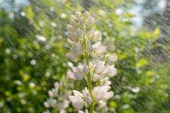 Beau lupin de floraison blanc dans le plan rapproché de pré beau normal de fond image libre de droits
