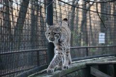 Beau lynx Photo stock