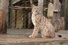 Beau lynx dans une cage de zoo image stock