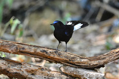 Beau mâle de Robin Bird Blanc-coupé la queue Photo stock