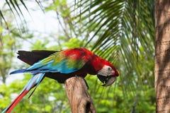 Beau macaw image libre de droits