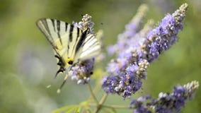 Beau machaon, papillon de machaon de Papilio suçant le nectar banque de vidéos