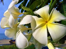 Beau macro blanc de fleur de Champaka Photos stock