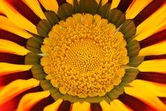 Beau macro de fleur de Gazania Image libre de droits