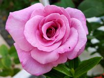 Beau macro de plan rapproché de rose rose dans le jardin images libres de droits