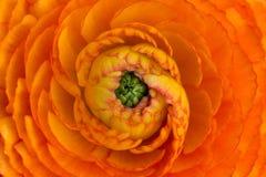 Beau macro orange de fleur semblant étonnant Photographie stock libre de droits