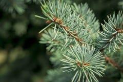 Beau macro tir d'arbre conifére Photographie stock