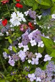 Beau macrophylla d'hortensia de Lacecap avec des corymbs photos stock