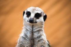 Beau meerkat regardant des personnes Photo libre de droits