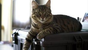 Beau mensonge de chat tigré sur le cas dur banque de vidéos