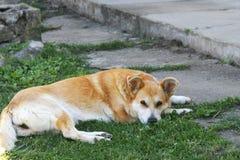 Beau mensonge de chien sur l'herbe de la cour dans un beau vill photographie stock libre de droits