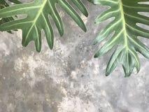 Beau modèle de grandes feuilles d'usine verte de xanadu Images stock