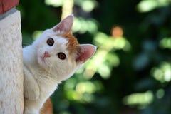 Beau mouchard brun blanc et coup d'oeil de chat image libre de droits