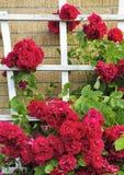 Beau mur de roses Image libre de droits