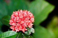 Beau nain rouge-rose Ixora ou fleur de transitoire dans un printemps à un jardin botanique images stock