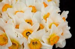 Beau narcisse de printemps d'isolement sur un noir Photographie stock libre de droits