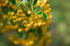Beau nerprun - fruit jaune Image stock