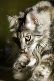 Beau nettoyage de chat lui-même Photos stock