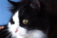 Beau, noir et blanc, aux yeux jaunes chat Photos stock