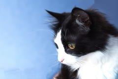 Beau, noir et blanc, aux yeux jaunes chat Photo stock
