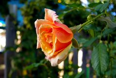 Beau orange s'est levé Photographie stock libre de droits