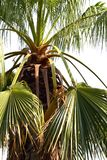 Beau palmier Photos libres de droits