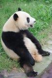 Beau panda Photo stock