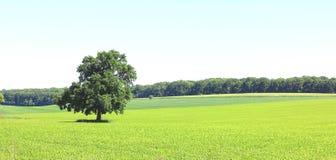 Beau panorama avec le paysage d'été avec l'arbre isolé image stock