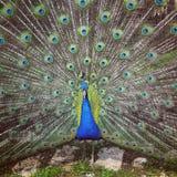 Beau paon bleu écartant ses plumes Photo stock