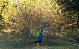 Beau paon montrant son plumage dans Austin, le Texas photo stock