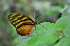 Beau papillon à une jungle tropicale au Guatemala Image libre de droits