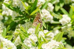 Beau papillon été perché sur une fleur blanche image libre de droits