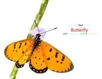 Beau papillon Photo stock
