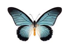 Beau papillon avec les ailes cyan d'isolement sur le blanc Image libre de droits