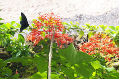Beau papillon, Bali, indonésien Photo stock