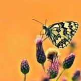 Beau papillon coloré se reposant sur la fleur en nature Jour d'été avec le soleil dehors sur le pré Fond naturel coloré Inse Photographie stock libre de droits