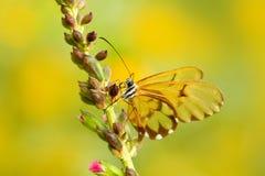 Beau papillon de Glasswinged avec les ailes transparentes Papillon dans l'habitat de nature Insecte avec les ailes transparentes  Photo libre de droits