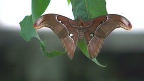 Beau papillon exotique se reposant sur les ailes de propagation de feuille, insectes pour des animaux familiers clips vidéos